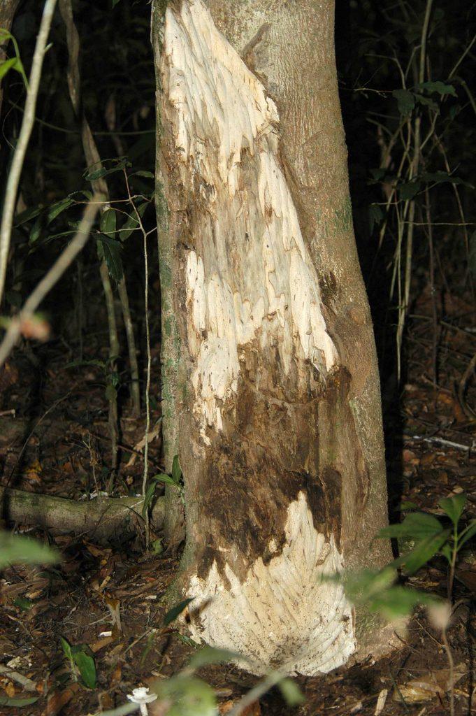 Agarový strom