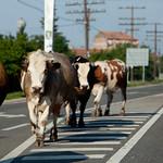 Rumunsko krávy