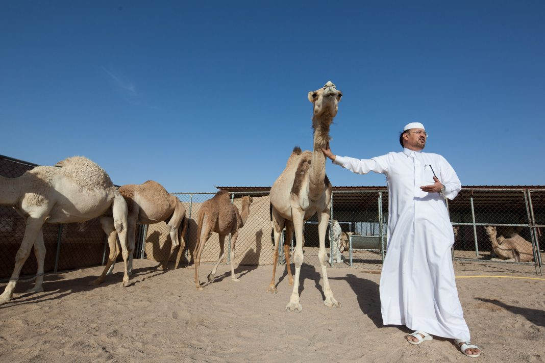 velbloudi, Katar, farma