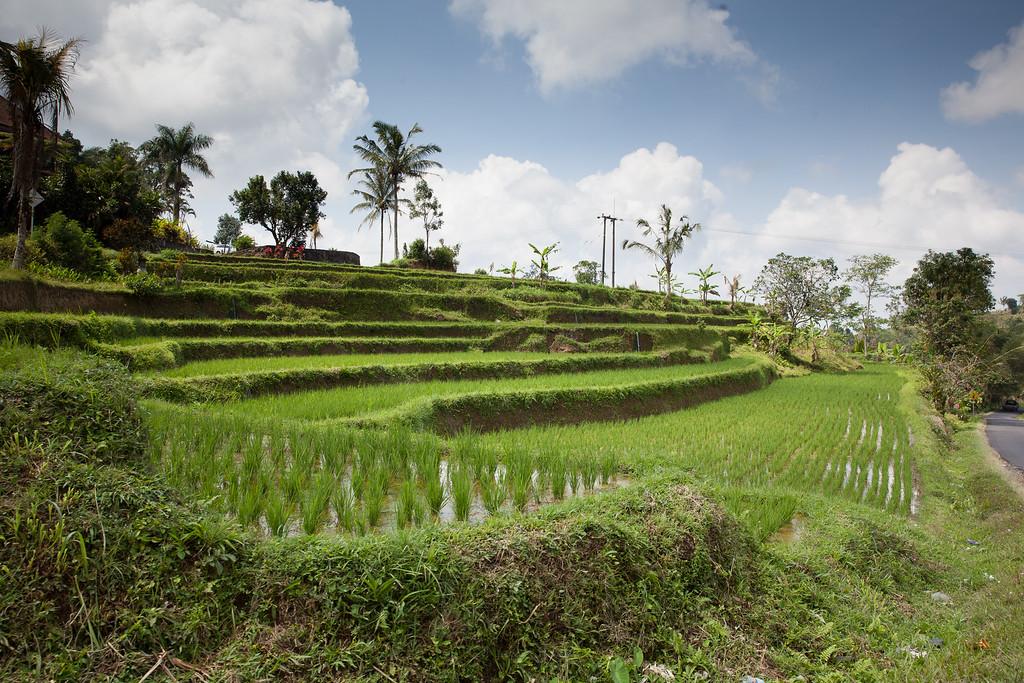 Bali rýže